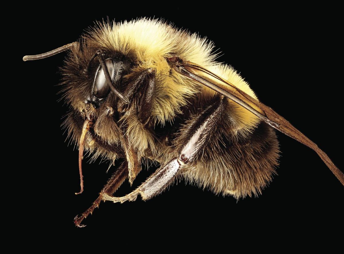 Bombus affinis, m, racine wi, LW Macior 1964 side_2017-02-15-09.29.tif