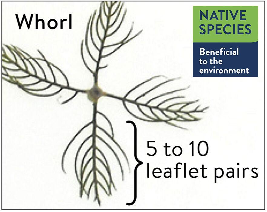 Northern Watermilfoil