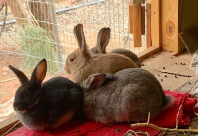 Rabbits in Transition
