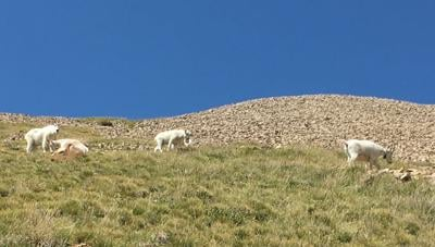 Mountain Goats in the LaSal's