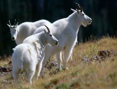 non-native mountain goats