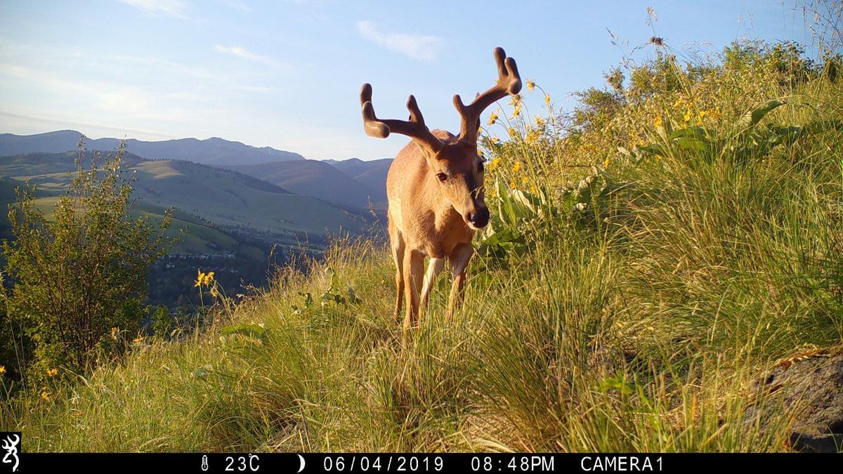 White-tailed Deer_Mt. Sentinel.JPG