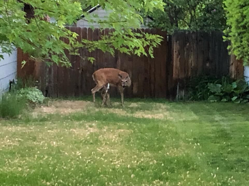 Firefighter rescues trapped fawn in Missoula