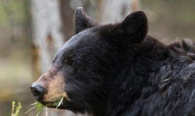 Black bear - National Parks Service