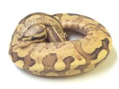 GFPD Snake picture