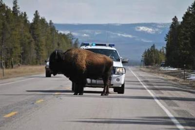 gallatin county sheriff bison yellowstone