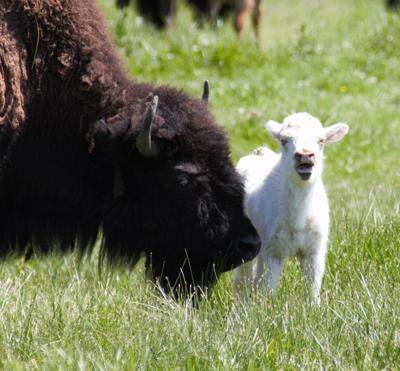 Albino Bison faith white buffalo