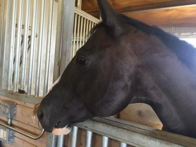 Gallatin County looking for temporary homes for horses involved in a neglect case