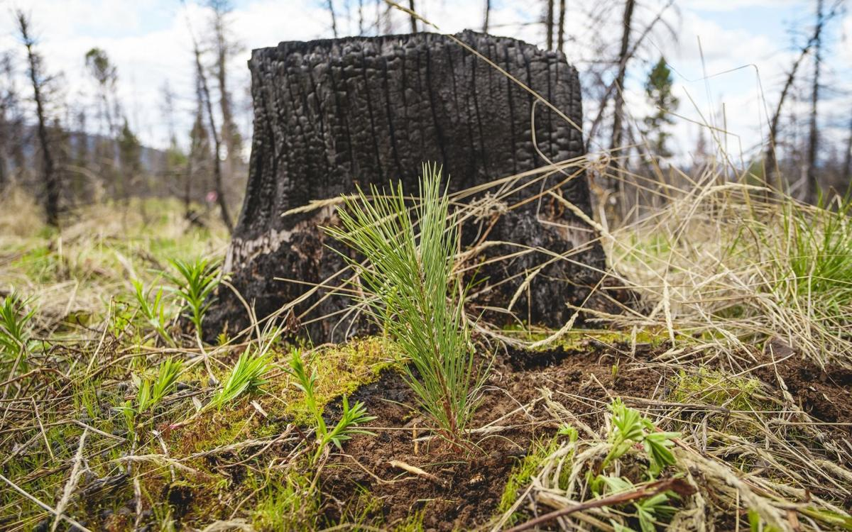Lolo National Forest and the National Forest Foundation plant over 200,000 seedlings