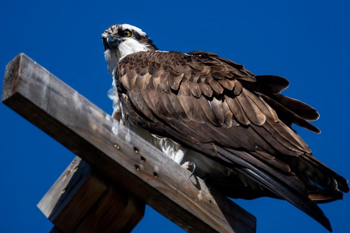 Iris the osprey returns to her nest in Hellgate Canyon