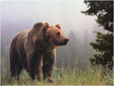 Grizzly baiting and trapping to start in Southwest Montana
