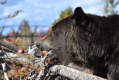 Bear Eating Apples