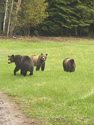 Grizzly bears caught near Flathead Valley