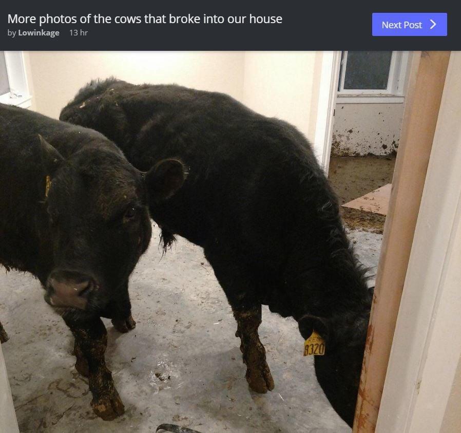 cows post reddit