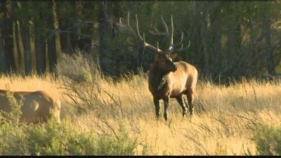 Second Person Injured By Elk In Accidental Encounter