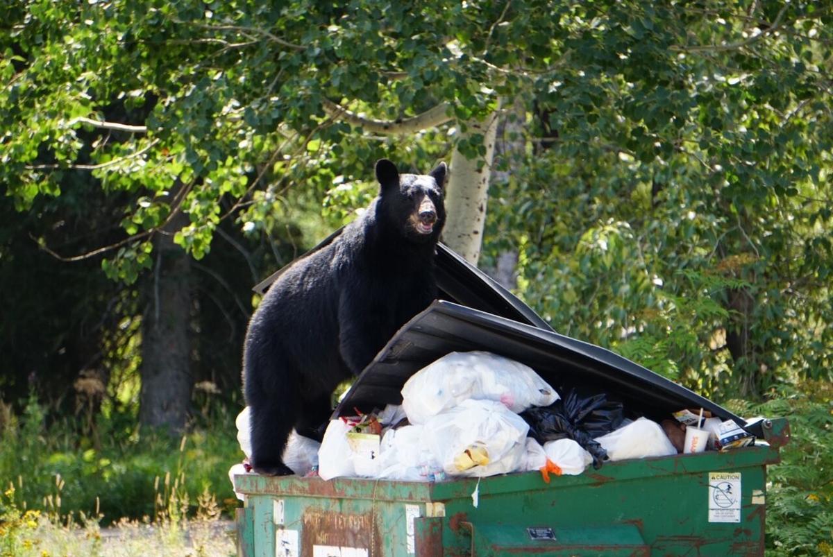 Bears in garbage - Montana Fish, Wildlife & Parks, Region 1