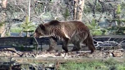Bill proposed to remove grizzlies from endangered species list