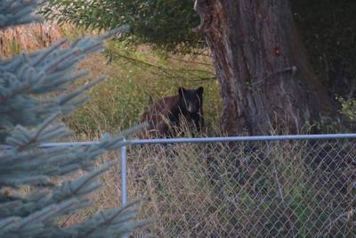 Bear sighting reported in Polson