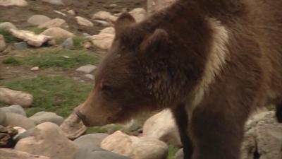 Bear walking about