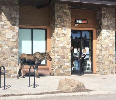 Baby moose stops by for lunch in Big Sky