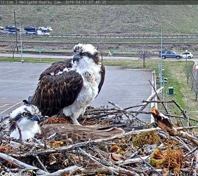 Wildlife Biologist says there's an osprey 'soap opera' in Missoula