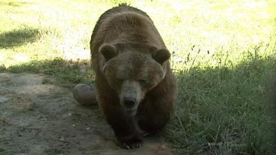 ZooMontana grizzly bear vault image