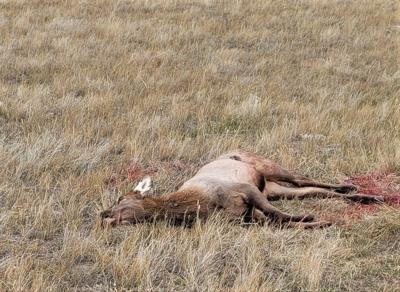 Calf elk poached near White Sulphur Springs
