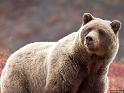 Grizzly Bear - MGN