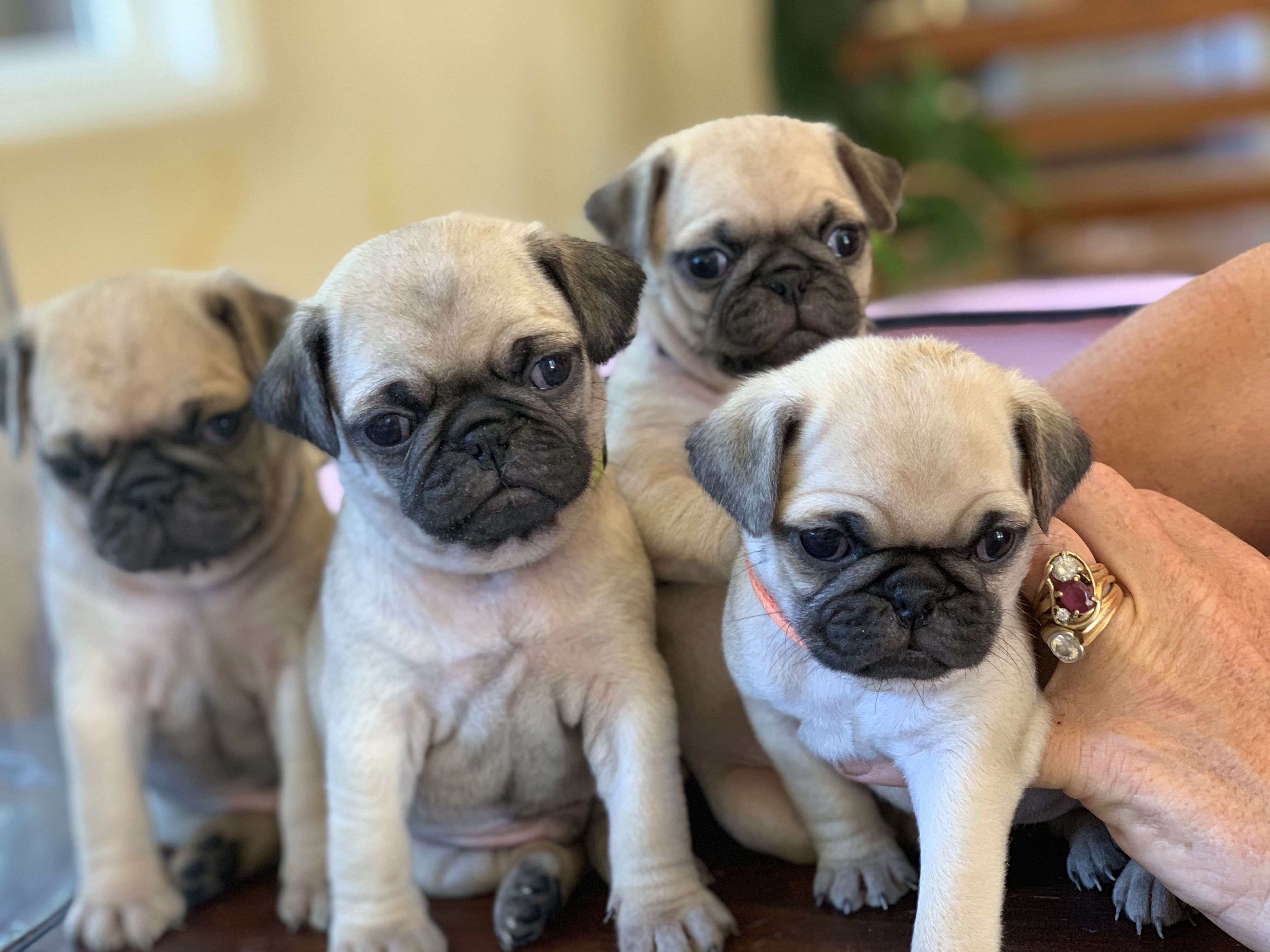 Pug Puppies For Sale. image 1