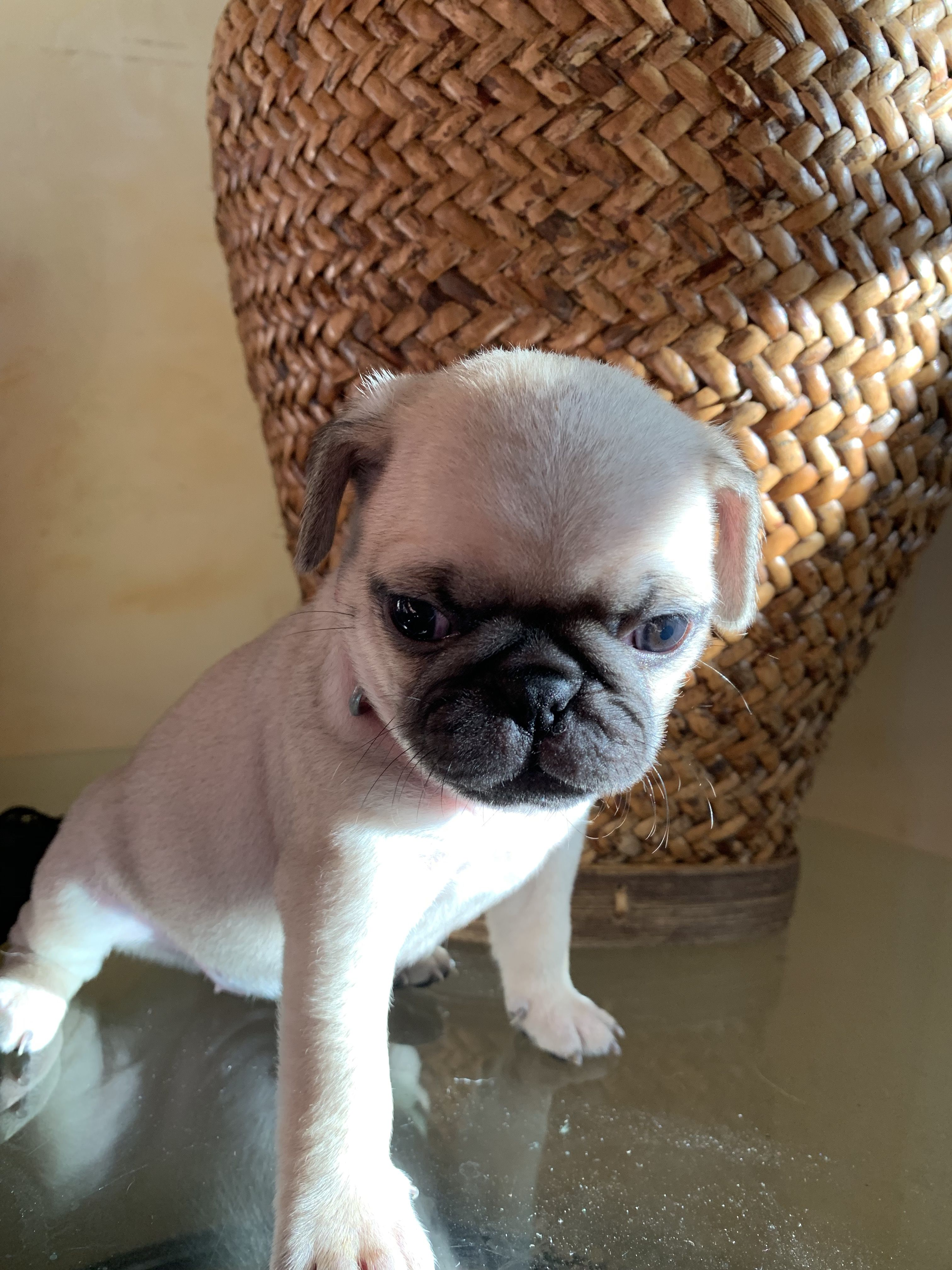 Pug Puppies For Sale. image 2