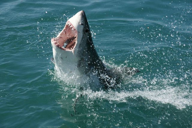 Great White Shark Attacks Kayak Off Cannery Row