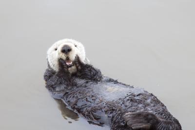 Sea Otter (copy)