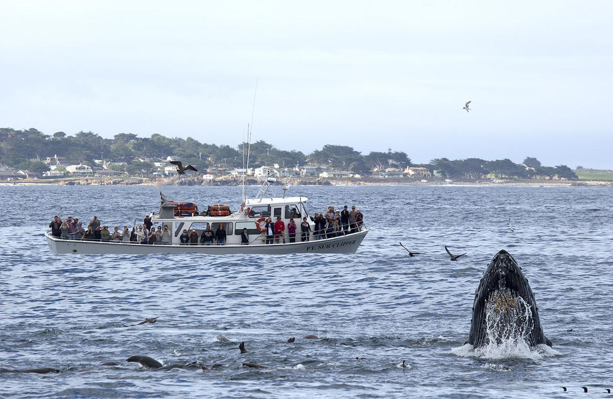 Whales in Monterey Bay