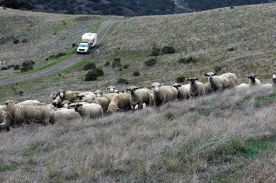 Springtime brings 2,500 woolly weedwhackers to the Fort Ord grasslands.