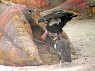 Condors make a meal of a beached gray whale.