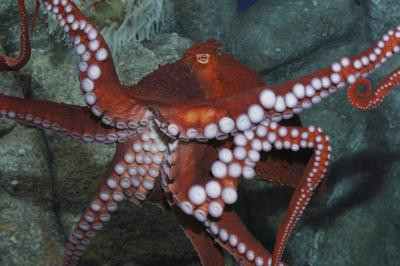 Octopuses promise to excite at new Aquarium exhibit.
