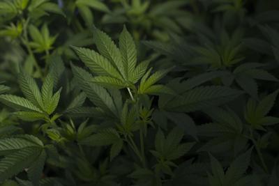 Cannabis closeup (copy)