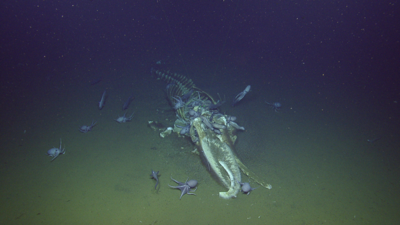 Octopus eating whale fall