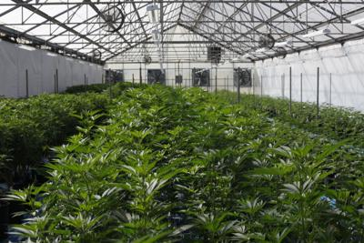 Cannabis - Zabala Farms