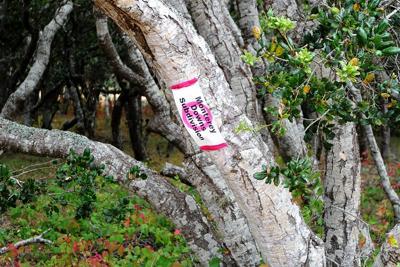 Monterey Downs oak tree