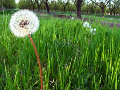 Dandelion greens are worth getting to know.