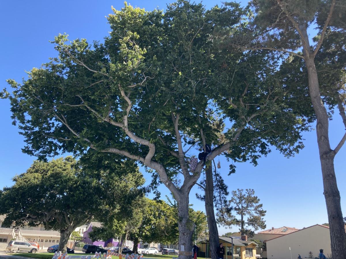 Jewell Park elm tree