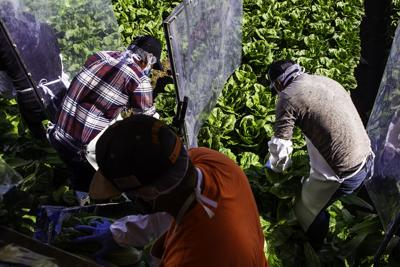Farmworkers during lettuce harvest