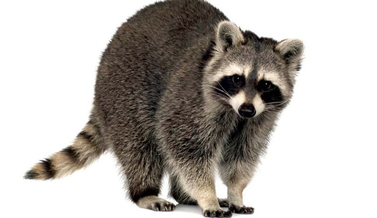 Raccoons own a stunning array of skills and a non ... Raccoon With No Hair