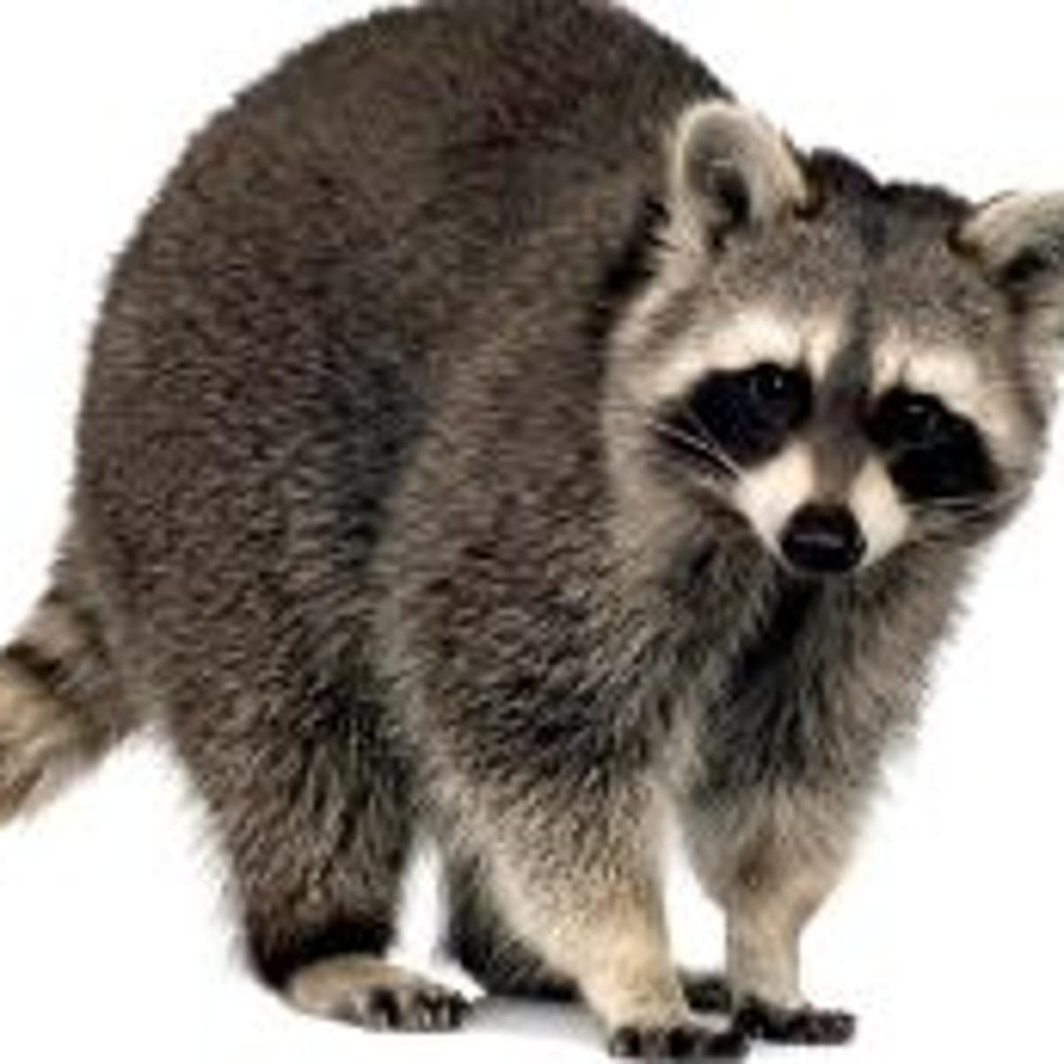 1160e9239f Raccoons own a stunning array of skills and a non-negotiable place ...