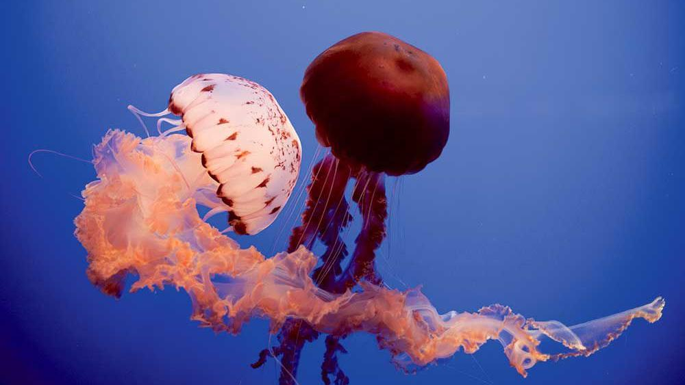 Monterey Aquarium closes to public until March 27 but the Jelly Cam is here for all of us.