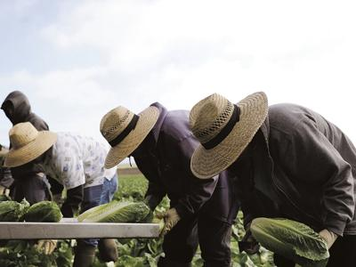 Lettuce harvest (copy)