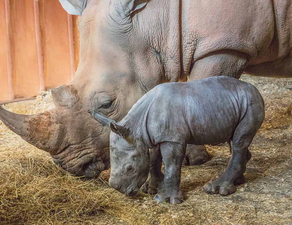 Baby Rhino born at N.C. Zoo