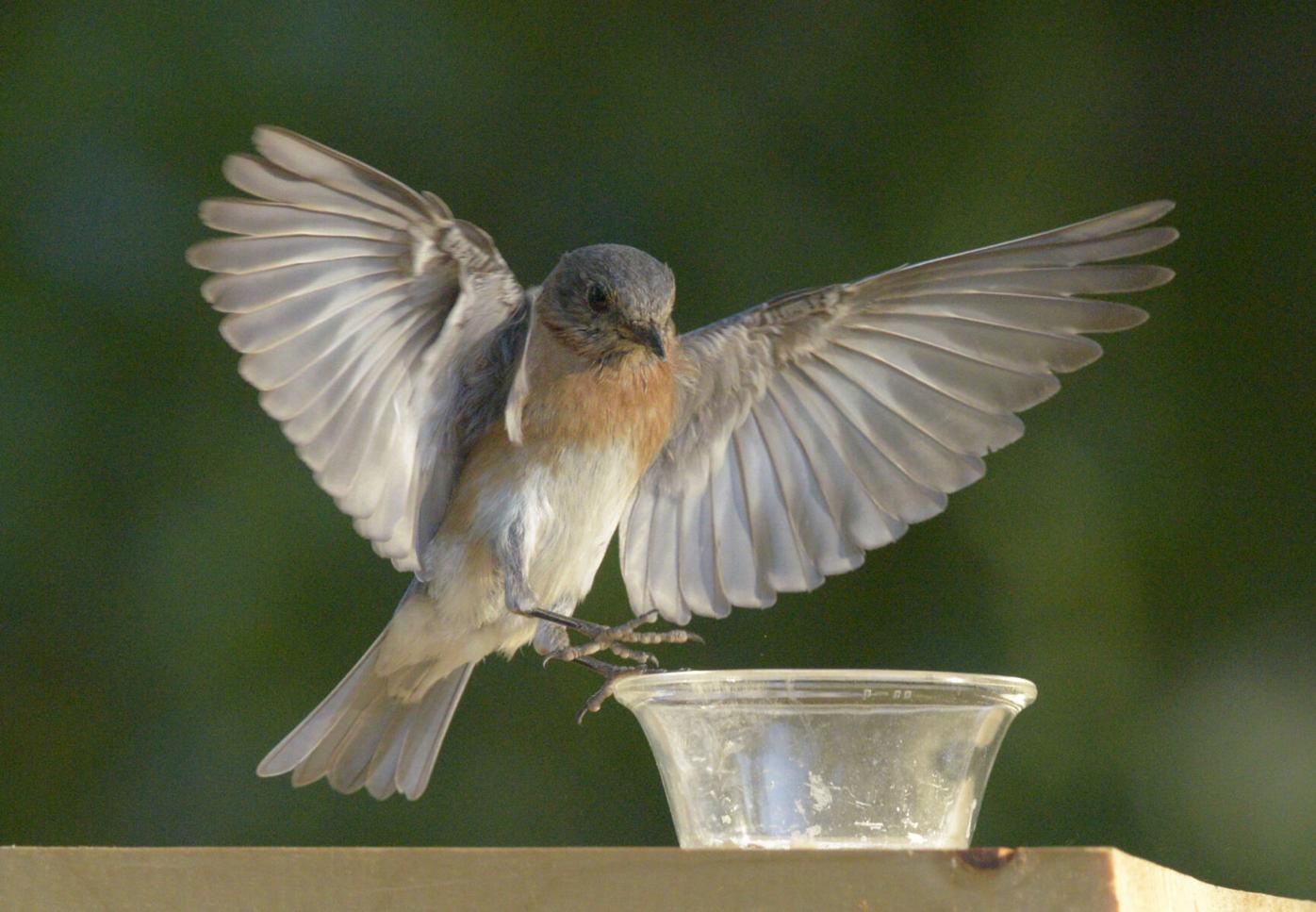 bluebird 052421.jpg