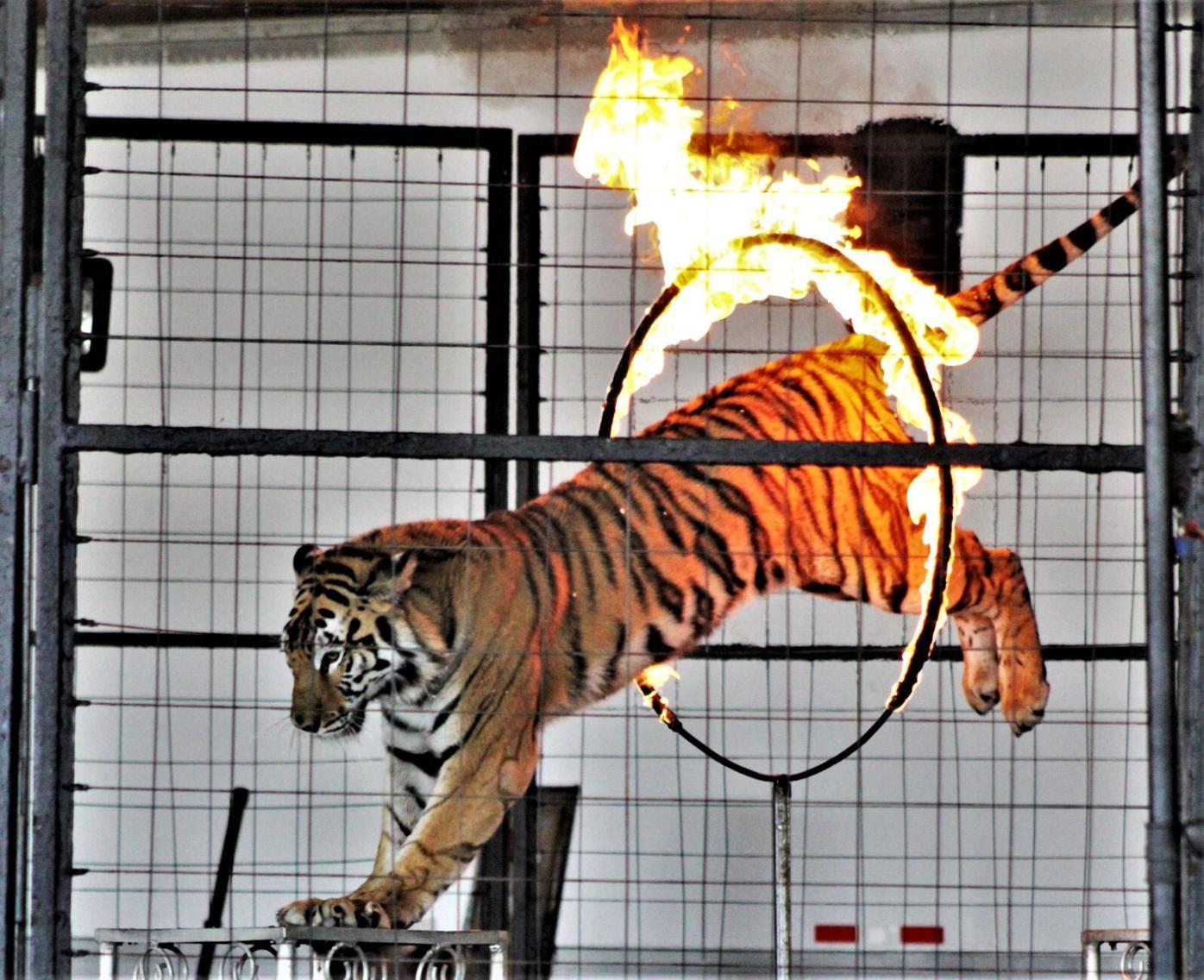 Tiger flaming hoop.
